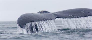 Fragment de flet de baleine de bosse avec le coulage de l'eau. image libre de droits