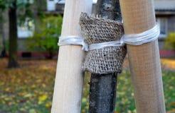 Fragment de tronc du jeune arbre qui est attaché jusqu'à l'appui Image stock