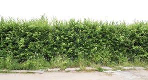 Fragment einer grünen Hecke von einem Weißdorn Lizenzfreie Stockfotos