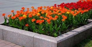 Fragment eines Blumenbeets mit Tulpen Lizenzfreie Stockfotos