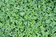 Fragment of a field with a clover. Fragment of a field with a  Irish clover Stock Image