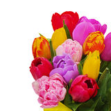 Fragment of floral bouquet from colorful tulips isolated Stock Photo
