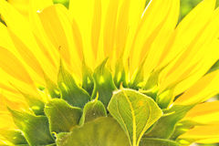 Fragment of a flower sunflower on the back side Royalty Free Stock Photos