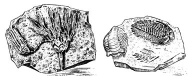 Fragment fossils, skeleton of prehistoric dead animals in stone. Ammonite and trilobite, Sea urchin and Crinoid. Archeology or paleontology engraved hand drawn Royalty Free Stock Photos