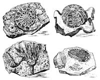 Fragment fossils, skeleton of prehistoric dead animals in stone. Ammonite and trilobite, Sea urchin and Crinoid. Archeology or paleontology engraved hand drawn Stock Photos