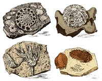 Fragment fossils, skeleton of prehistoric dead animals in stone. Ammonite and trilobite, Sea urchin and Crinoid. Archeology or paleontology engraved hand drawn Royalty Free Stock Photo
