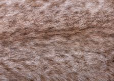 Fragment of fur of large Siberian lynx. On back. Expensive skin of closeup Stock Photography