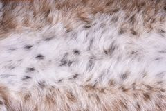 Fragment of fur of Siberian wild lynx Stock Image