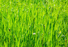 A fragment of green grass Stock Image