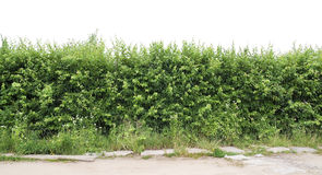 Fragment of a green hedge from a hawthorn royalty free stock photos