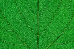 Fragment of green leaf Stock Image