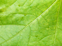 Fragment of green maple leaf with raindrops Stock Photos