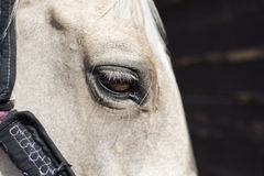 Fragment of head of white horse sideview Royalty Free Stock Image