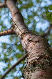 Fragment of a high tree Royalty Free Stock Image
