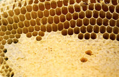 Fragment of honeycomb with full cells. Newly pulled honey bee honeycomb beeswax Royalty Free Stock Photo