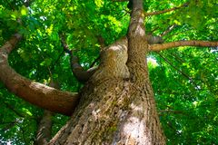 Fragment of the huge trunk and lush crown of a relic Linden tree under the golden sunbeams. stock image