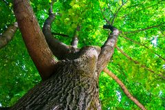 Fragment of the huge trunk and lush crown of a relic Linden tree under the golden sunbeams. royalty free stock photo