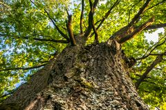 Fragment of the huge trunk and lush crown of a relic oak tree under the golden sunbeams. Eastern Europe stock images