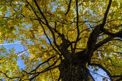 Fragment of the huge trunk and lush crown of a relic oak tree under the golden sunbeams. Eastern Europe stock image