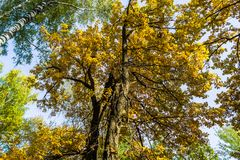 Fragment of the huge trunk and lush crown of a relic oak tree under the golden sunbeams. Eastern Europe stock photography