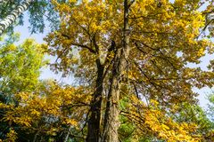 Fragment of the huge trunk and lush crown of a relic oak tree under the golden sunbeams. Eastern Europe royalty free stock photography