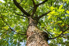Fragment of the huge trunk and lush crown of a relic oak tree under the golden sunbeams. stock photography