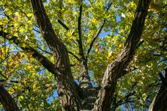 Fragment of the huge trunk and lush crown of a relic oak tree under the golden sunbeams. royalty free stock photos