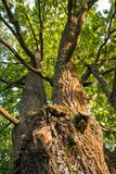 Fragment of the huge trunk and lush crown of a relic oak tree under the golden sunbeams. Eastern Europe stock photo