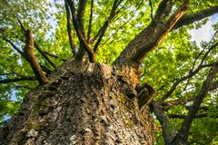 Fragment of the huge trunk and lush crown of a relic oak tree under the golden sunbeams. Eastern Europe royalty free stock photos