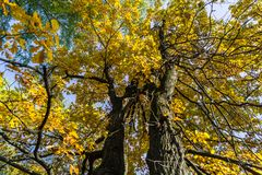 Fragment of the huge trunk and lush crown of a relic oak tree under the golden sunbeams. stock photos