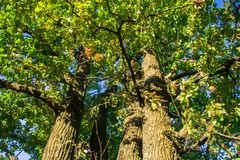 Fragment of the huge trunk and lush crown of a relic oak tree under the golden sunbeams. stock images