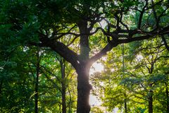 Fragment of the huge trunk and lush crown of a relic oak tree under the golden sunbeams. stock photo