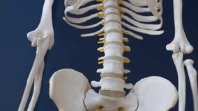 Fragment of a human skeleton on a black background. Pelvis and spine. A fragment of a human skeleton on a black background. Pelvis and spine Stock Photo