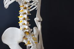 Fragment of a human skeleton on a black background. Pelvis and spine. A fragment of a human skeleton on a black background. Pelvis and spine Royalty Free Stock Images