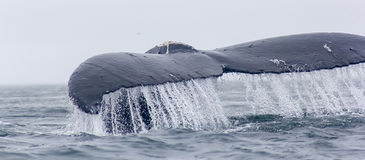 Fragment of humpback whale fluke with water running off. Royalty Free Stock Image