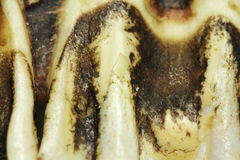 A fragment of jawbone boar  background. A fragment of jawbone boar abstract background Stock Photos