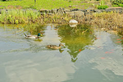 A fragment of the lake with red fish and ducks Stock Photo