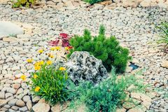Fragment of landscape design on the street with a small pine stone and yellow flowers on the background of paving stones. Sunny day Stock Photography