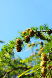 Fragment of larch branch over the sky Stock Image