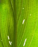 Yellow calla lily green leaves with white spots close-up details macro. Fragment leaf plant calla variegated shape close-up details Yellow calla lily with green Stock Photo