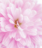 Fragment of  light pink  Chrysanthemum flower. Stock Images