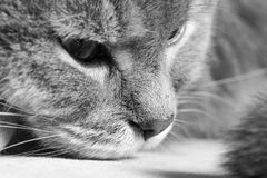 Fragment of a muzzle of a cat, black-and-white photo. Close up, selective focus Royalty Free Stock Images