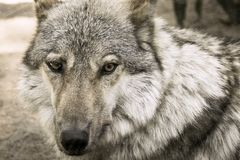 Fragment muzzle of a gray wolf looks forward Stock Images