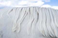 Fragment of neck of white horse with mane against blue sky Stock Photos