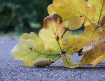 Fragment oak branch with one acorn on the pavement Stock Image