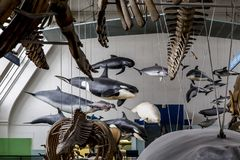 Free Fragment Of Exhibition Of The Museum Of Natural History, London Royalty Free Stock Image - 110309486