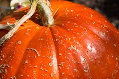 Fragment Of Large Ripe Pumpkin Royalty Free Stock Images
