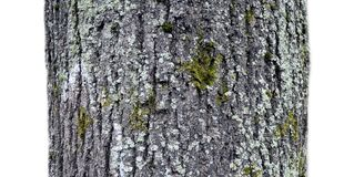 A fragment of old tree on a white background Royalty Free Stock Images