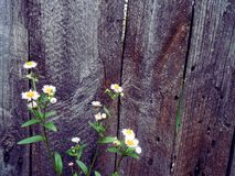Fragment of an old wooden fence and flowers. Background for text Royalty Free Stock Image