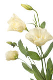 A fragment of pale flowers isolated on white. A fragment of pale  flowers isolated on white.  eustoma Stock Photography